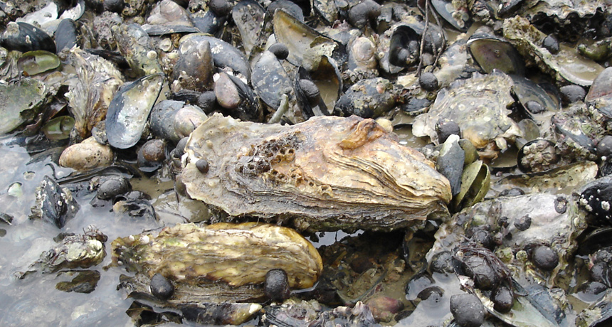 Toxic Wastewater is Killing Oysters